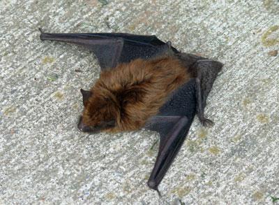 Bat Main