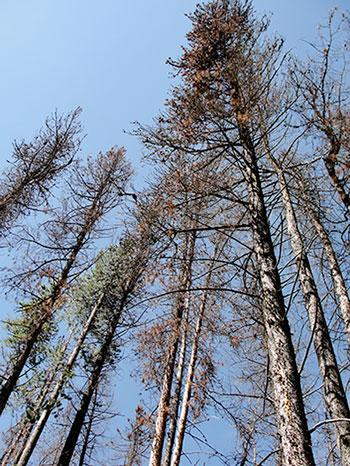 beetle-trees5