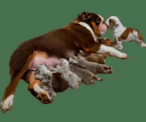 lactancia en cachorros