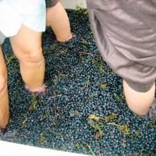 Stomping grapes in Santa Barbara wine country