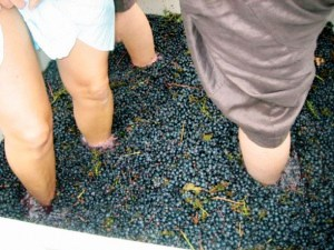 Stomping grapes in Santa Barbara wine country