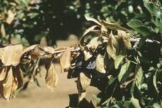 Blue Prune Drop and Leaf Scorch