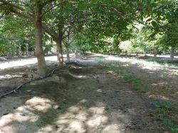 California walnut orchard, walnut irrigation