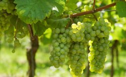Grape Consumption May Offer Benefits for Symptomatic Knee Osteoarthritis
