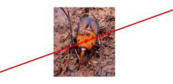 RED PALM WEEVIL ERADICATED FROM LAGUNA BEACH, CALIFORNIA