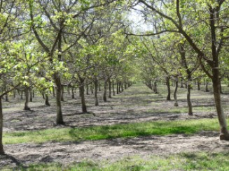 Walnut trees