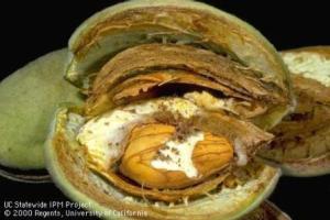 NOW Monitoring, navel orangeworm