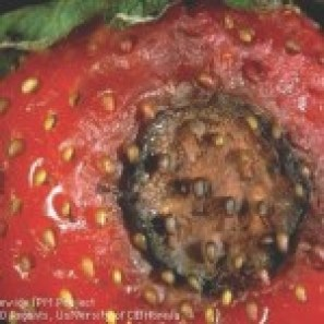 Anthracnose in Strawberries, UC Statewide IPM Project
