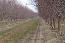 Dormant almond trees with micro-sprinkers