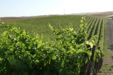 california-grape_vineyard