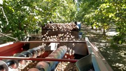 Initial Walnut Irrigation Can be Delayed