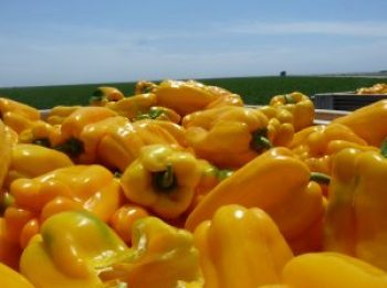 Yellow Bell Peppers, world vegan day
