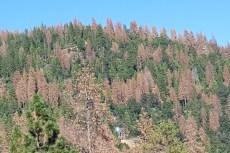 dead-trees-on-Sierra Nevada mountain-222