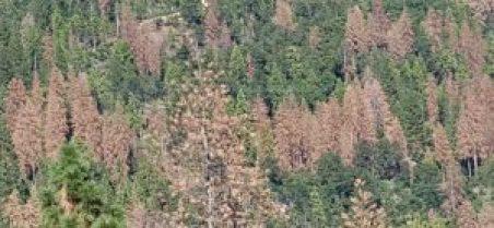 dead trees sierra nevada california drought