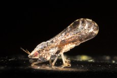Adult Asian citrus psyllid, Huanglongbing