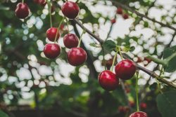 Cherry Industry Hoping for Better Year