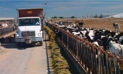 Dairy cows and truck