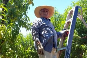Tree fruit farm worker in California.