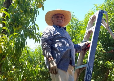 Tree fruit farm worker in California.