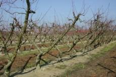 pedestrian orchards