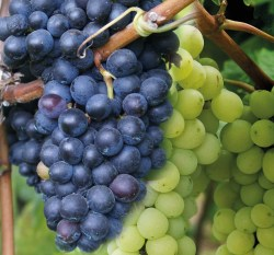 USDA Purchases More Than $10 Million in California Table Grapes