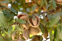 Rep. Josh Harder: Trade War With India Must End for Almond Industry