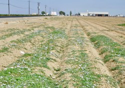 Helpful Tips for Fighting Bindweed