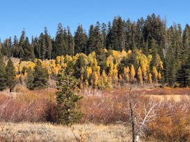 Yellow and orange aspens seem to glow in the sunlight.