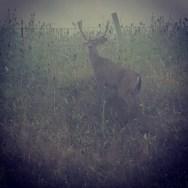 Misty morning buck - near Petaluma, CA