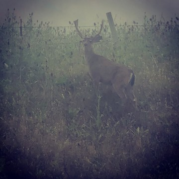 Misty morning buck - near Petaluma, CA