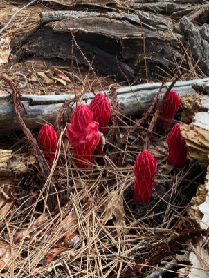 Six snowflowers in bloom on a little side trail near Sawmill Road. Taken during a hike up to the Thornburg Trail.