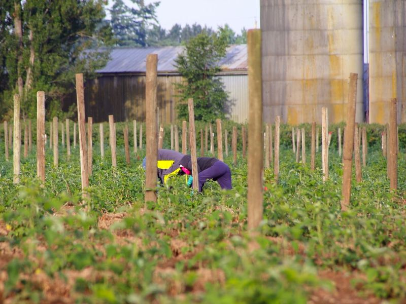 Hispanic, Latino, and Latinx Farmers & Farmworkers on the Front Lines of Food Safety