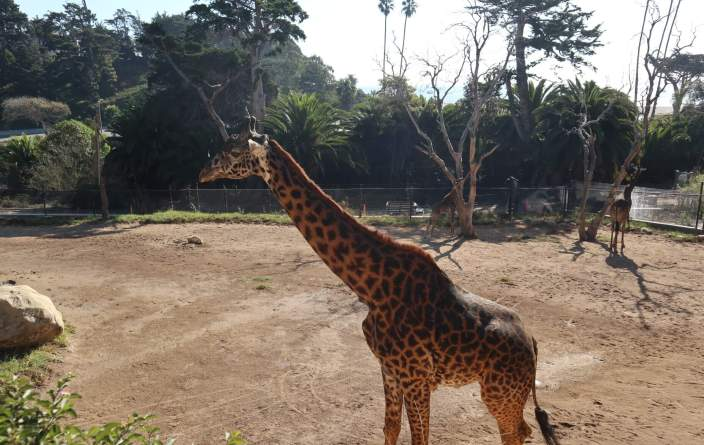 Giraffes at the Santa Barbara Zoo, one of the best attractions for kids in Santa Barbara