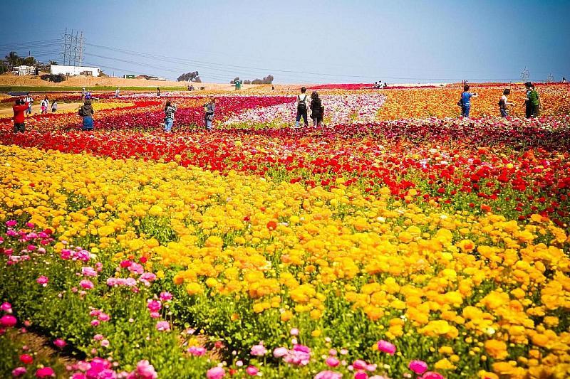 Carlsabad Flower Fields