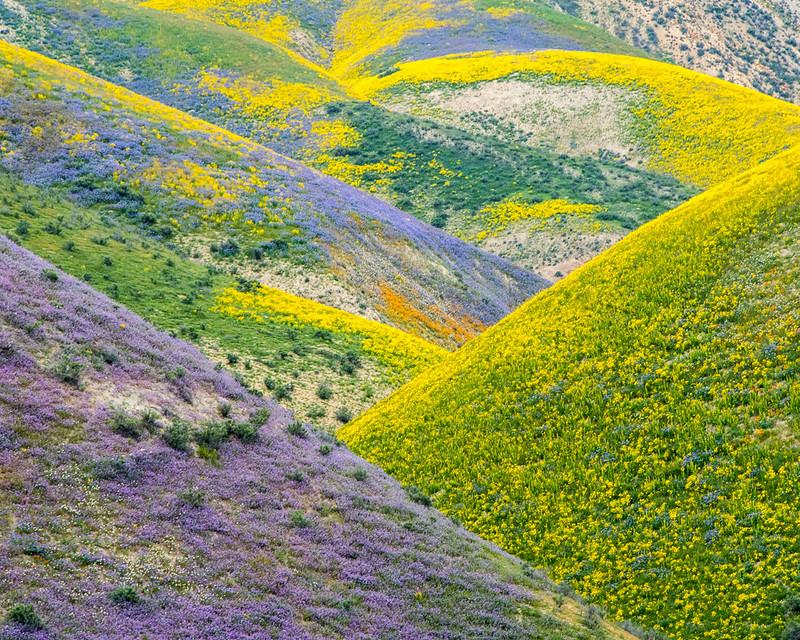 Carrizo Plain Wildflowers
