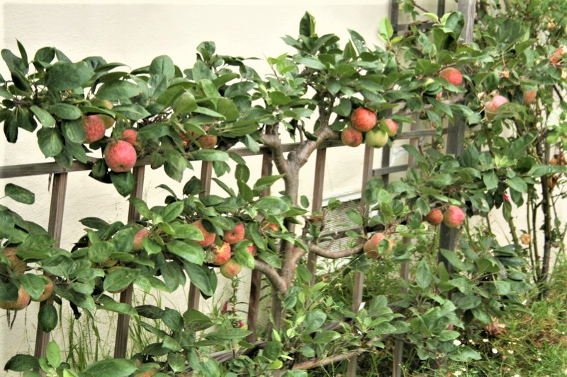 Espalier apples are good container fruit trees.