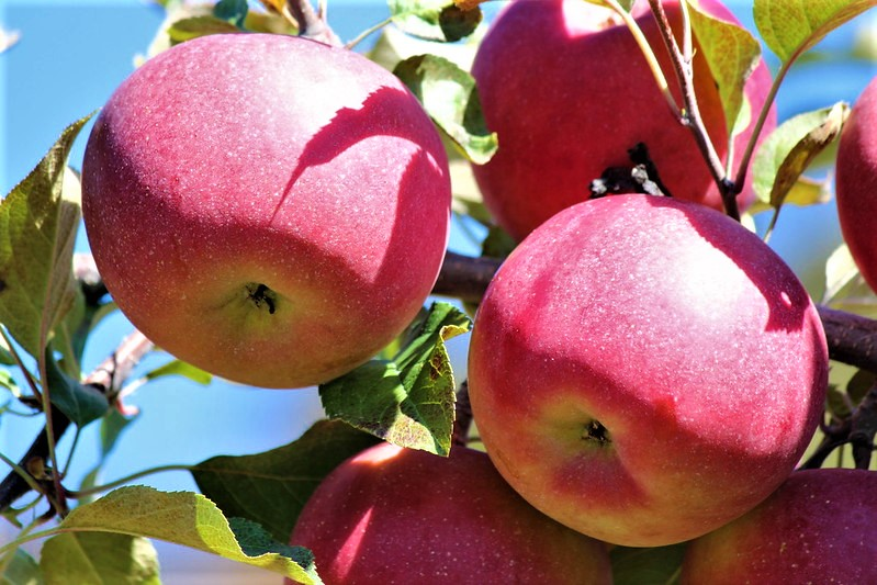 fuji apples growing on a tree