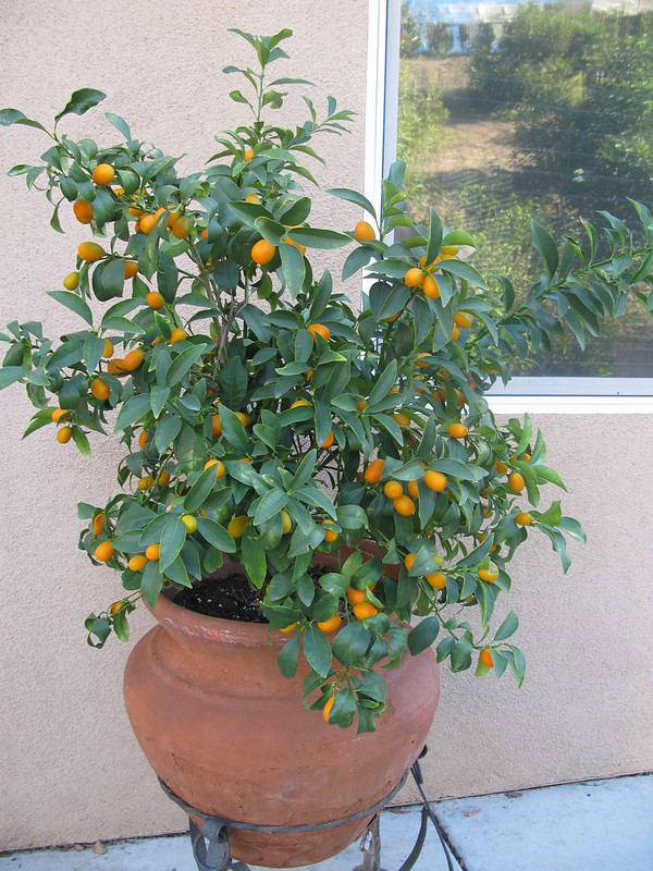 Kumquats are excellent container fruit trees
