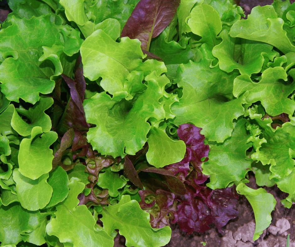 Lettuces fresh from the garden