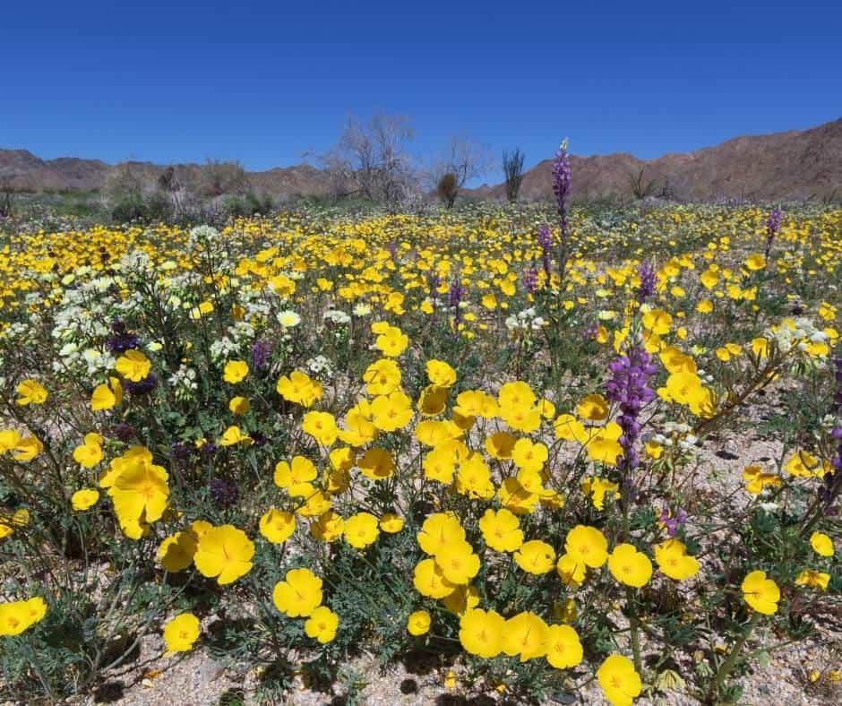 Visit Joshua Tree National Park During a spring super bloom