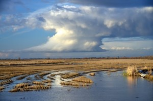 A rice farm in the Yolo Bypass near Sacramento. Photo by Carson Jeffres