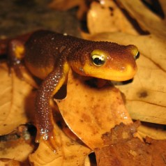 """Nothing says """"Boo!"""" like the bug-eyed California newt with it's Halloween-orange underside. Photo by Amber Manfree"""