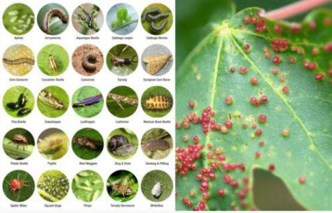 How to Detect, Prevent and Eliminate Marijuana Pests and Disease