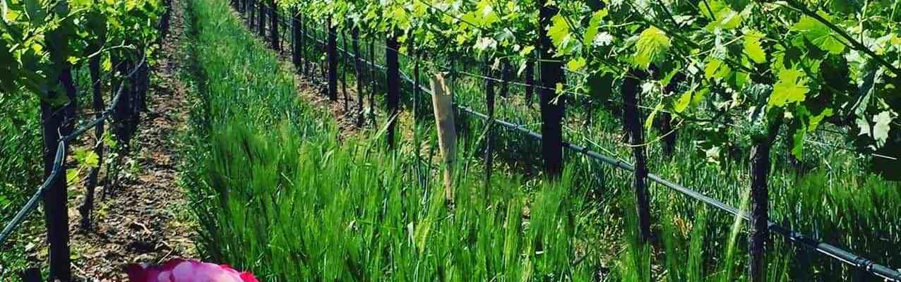 Doffo winery vineyard roses