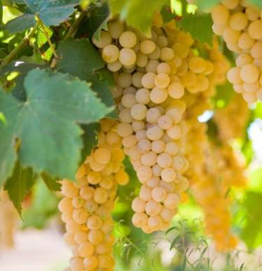 Wine Grapes Chardonnay