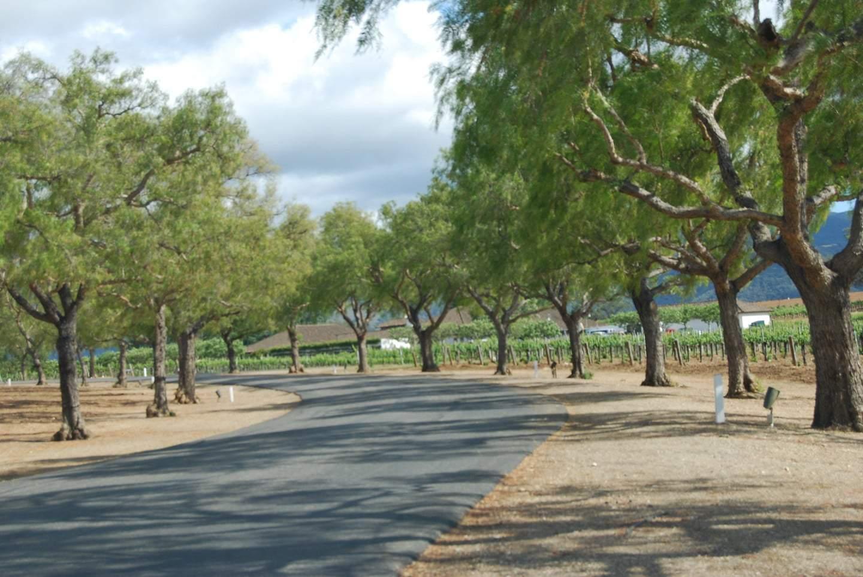 trees leading to santa ynez winery