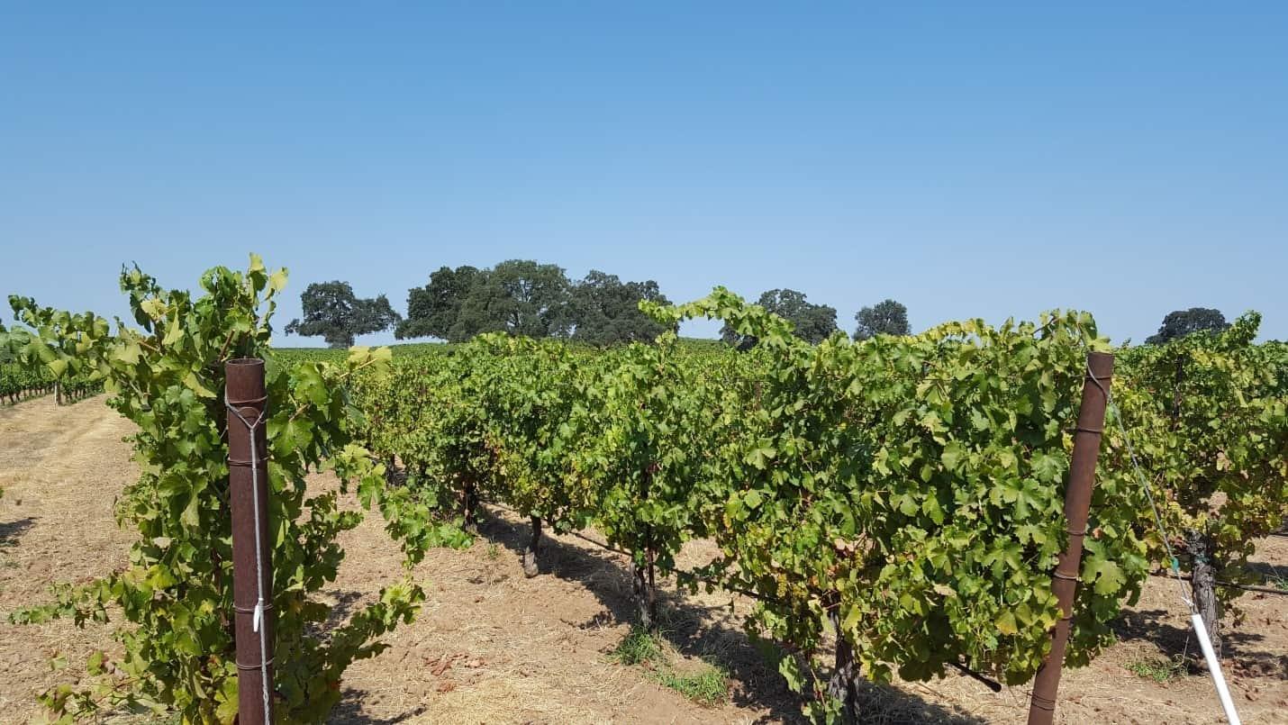 lodi california vineyards
