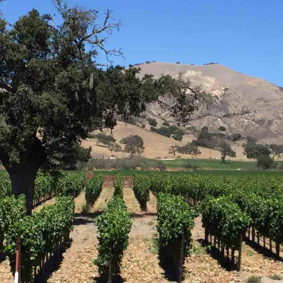 zaca-mesa-vineyard