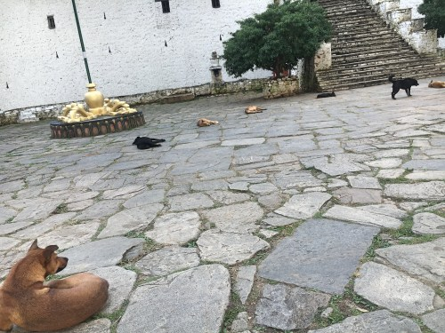 Dogs at temple in punakha