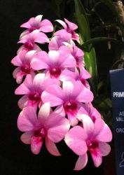 Dendrobium Sherry Song Fire Dande.           Angela Maria Rosales